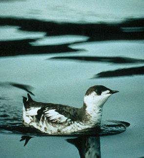 Marmelalk (Brachyramphus marmoratus) in typischer Ruheposition auf dem Wasser