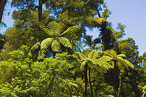 Tāne - New Zealand rainforest: the trees and birds are the children of Tāne