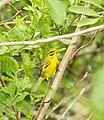 Warbler prairie 02.JPG
