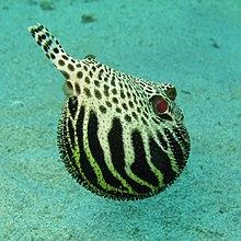 Blowfish wiktionary for Blowfish vs puffer fish