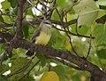 Western Kingbirds recently fledged (36987359003).jpg