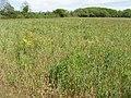 Wheatfield with wild flowers - geograph.org.uk - 442659.jpg