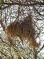 White-browed Sparrow-weaver Plocepasser mahali in Tanzania 1682 Nevit.jpg