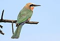 White-fronted Bee-eater, Merops bullockoides, at Rietvlei Nature Reserve, Gauteng, South Africa (15865100227).jpg