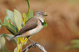 White-fronted Chat.jpg