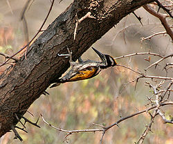 White-naped Woodpecker (Chrysocolaptes festivus) in Hyderabad W IMG 7544.jpg