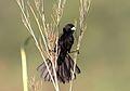 White-winged widowbird, Euplectes albonotatus, at Zaagkuildrift Road near Kgomo Kgomo, Limpopo, South Africa (30738461494).jpg