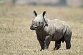 White Baby Rhino.jpg