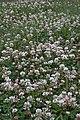 White Clover (Trifolium repens) - Guelph, Ontario.jpg