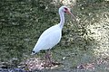 White Ibis, Wesley Chapel FL, March 27, 2012 (7023667389).jpg