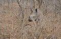 White Rhino (Ceratotherium simum) calf (32442686406).jpg