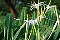 White Spider Lily (Thank Ghir!) (DSC 0005) (2614713890).jpg