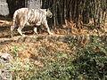 White Tiger 2.JPG
