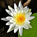 White Waterlily (4782261567).jpg