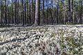 White moss. Беломошник. - panoramio.jpg
