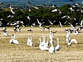 Whooper Swans and Greylag Geese, Balinroich - geograph.org.uk - 1015619.jpg