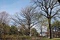 Wiener Naturdenkmal 827 - Baumhasel (Döbling) d.JPG
