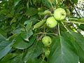Wild Apples (4223684007).jpg