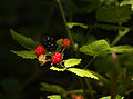 Wild Berries (9313904485).jpg