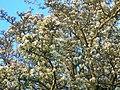 Wild Pear Tree in full blossom.JPG