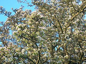 Wild Pear Tree in full blossom.JPG