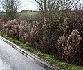 Willow herb in seed at the side of the lane - geograph.org.uk - 1609922.jpg