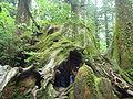 Wilsons Stump Yaku cedar 001.jpg