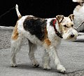 Wire Fox Terrier Image 001.jpg