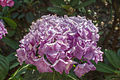 Wojsławice, arboretum, Hydrangea macrophylla Renate Steiniger III.jpg