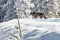 Wolf moving through fresh snow (e84039aa-599e-47f6-9f8f-ddd0b309ee59).jpg