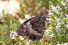 Woodland grayling (Hipparchia fagi) male Macedonia.jpg