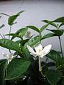 Wrightia antidysenterica (3).JPG