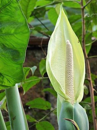 Araceae - Inflorescence  of Xanthosoma sagittifolium
