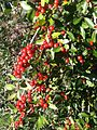 Yaupon holly berries.JPG