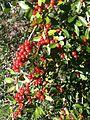 Yaupon holly berries.JPG