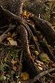 Yelagin-Island Parus roots.jpg