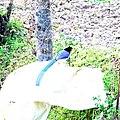 Yellow-billed blue magpie-6 Kandbari, Himachal Pradesh by Avyakta.jpg