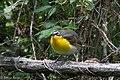 Yellow-breasted Chat Fall Out 2 Sabine Woods TX 2018-04-09 14-11-26 (40614637975).jpg