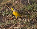 Yellow-throated Longclaw (Macronyx croceus) (21160069961).jpg
