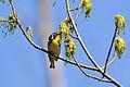 Yellow-throated Warbler (Setophaga dominica) (16937430489).jpg