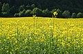 Yellow 1 (4736645494).jpg