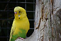 Yellow and Green Budgie.jpg