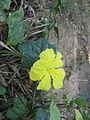 Yellow creeper flower periyar banks.JPG