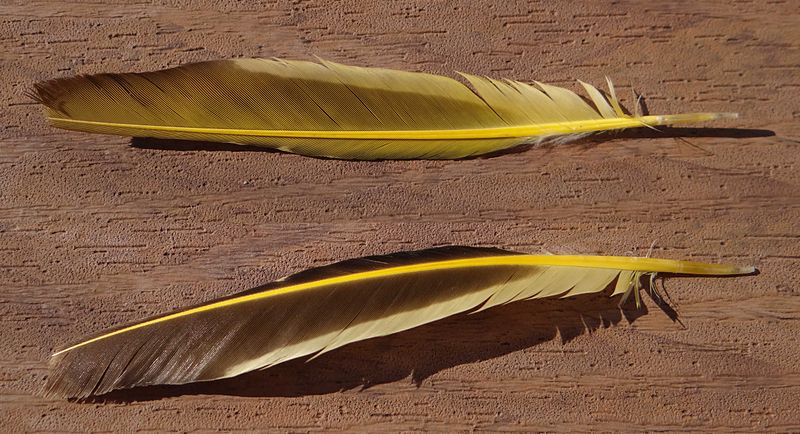File:Yellow feather.jpg