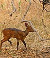 Young Bushbuck (Tragelaphus scriptus) (32350974713).jpg