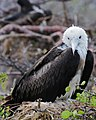 Young Magnificent Frigatebird (4884593523).jpg