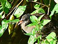 Young moorhen, Coate Water, Swindon - geograph.org.uk - 943750.jpg