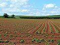 Young potato crop - geograph.org.uk - 1356045.jpg