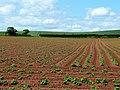 Young potato crop - geograph.org.uk - 1356045.jpg