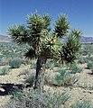 Yucca brevifolia ssp. jaegeriana fh 1182.80 NV B.jpg